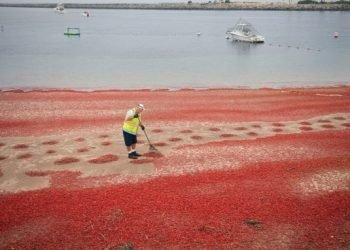 spiagge-trasformate-in-un-tappeto-rosso:-invasione-di-crostacei-per-el-nino