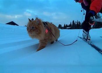 il-gatto-delle-nevi:-una-celebrita-mondiale